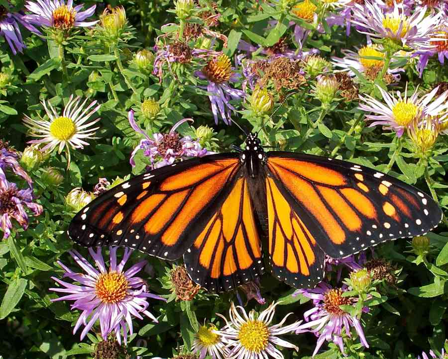50 Monarch butterfly Photo by Martha B Moss
